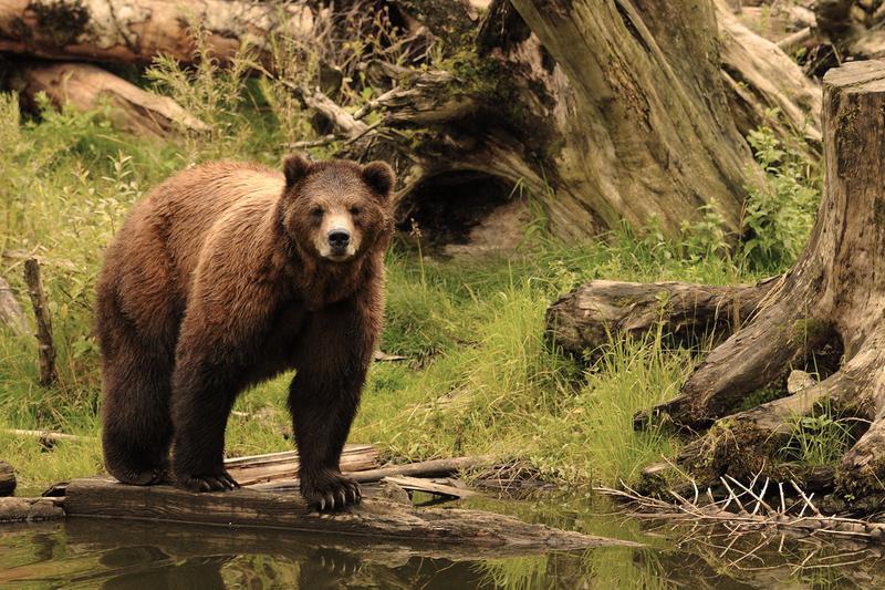Подобно запрету на потребление свинины у иудеев и мусульман, у древних славян существовал запрет на употребление медвежатины.